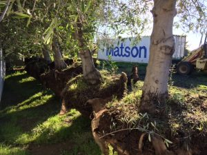 Matson containers pictured with trees in foreground.
